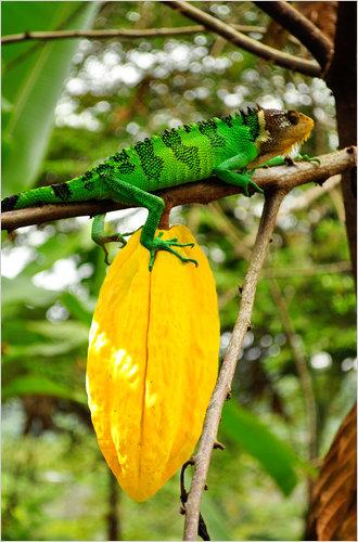 Cocoa beans Nacional