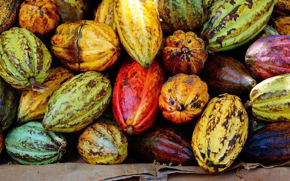 forastero cocoa beans