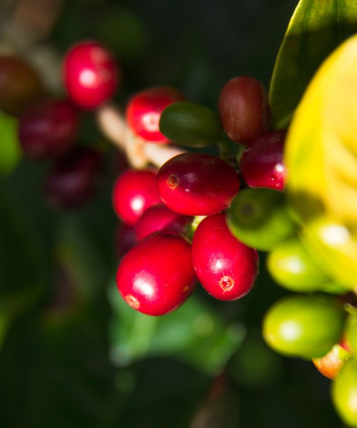 Coffee green arabica Geisha