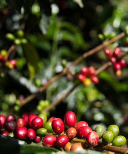 Coffee arabica Typica