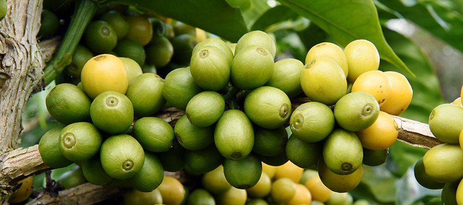 Кофе Maragogype 100% арабика Panama