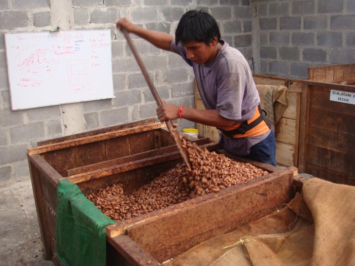 Fermentation cocoa beans