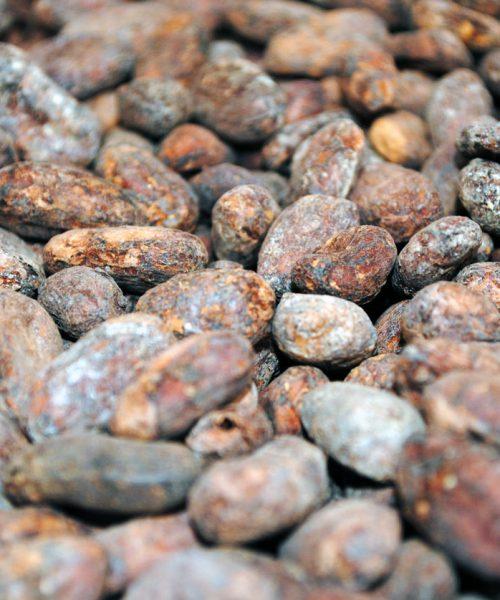 Cocoa beans Criollo