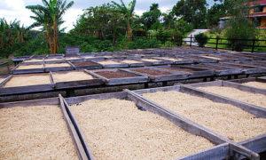 Кофе зеленый арабика Maragogype Panama ферма Finca Hartmann