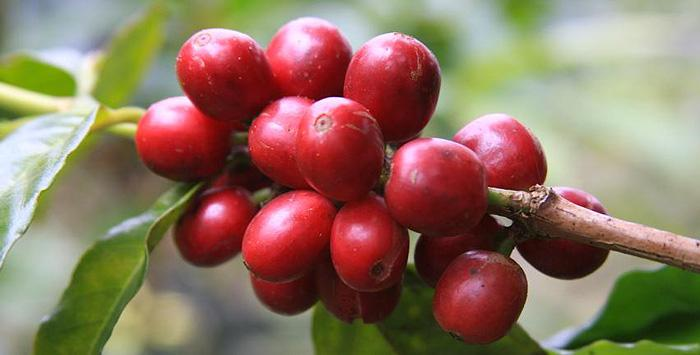 Кофе зеленый арабика сорт Typica Panama